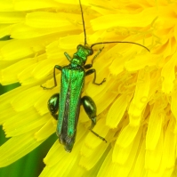Thick legged Beetle on a Dandelion