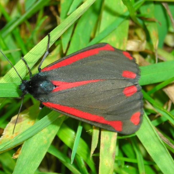 Cinabar Moth