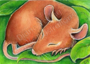 ACEO painting of a mouse sleeping by artist Diane Young