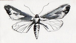 Sketch pen and ink drawing by artist Diane Young of a Moth or butterfly