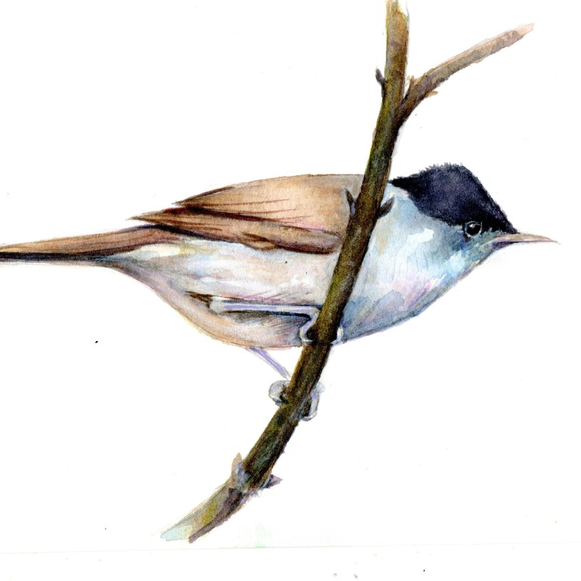 Painting of a Blackcap by artist Diane YOung
