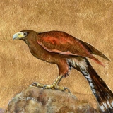 Painting of harris hawk with gold leaf background by artist Diane Young