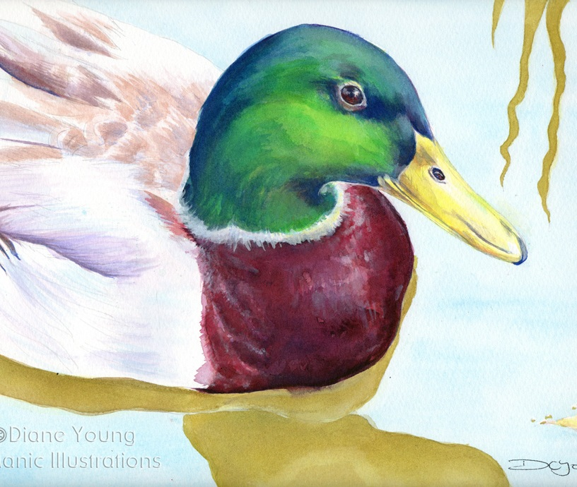 Painting of a mallard duck by artist Diane Young Manic Illustrations Stroud