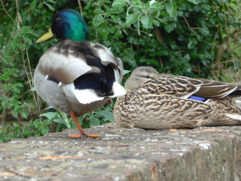 Photo of mallard ducks for artist reference by Diane Young stroud