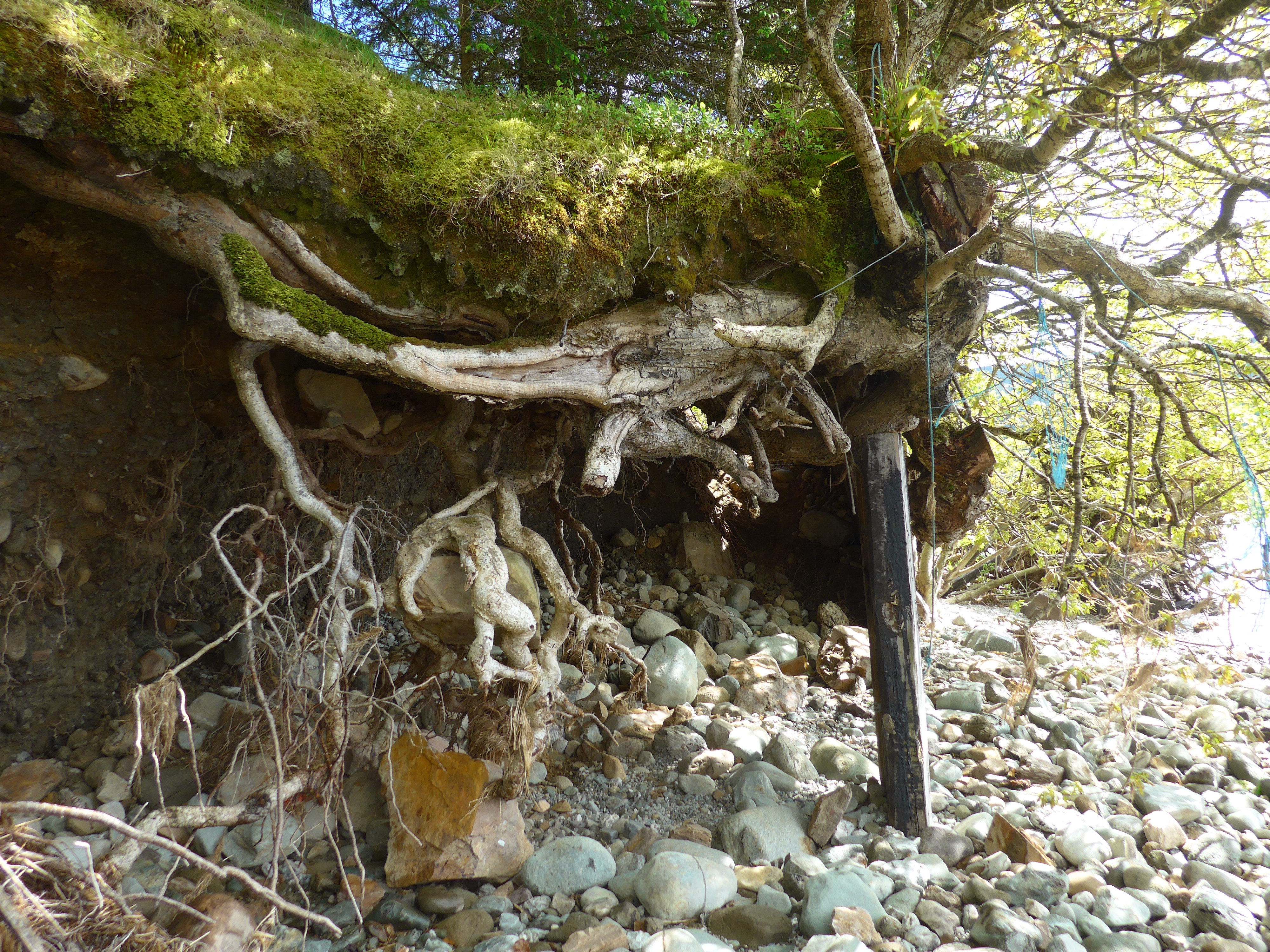 Tree roots and beach in Scotland photograph by Diane Young Artist from Stroud
