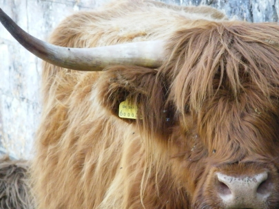 Highland Cow reference for Painting photo by Diane Young