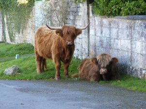 Photo of Highland Cattle by Diane Young