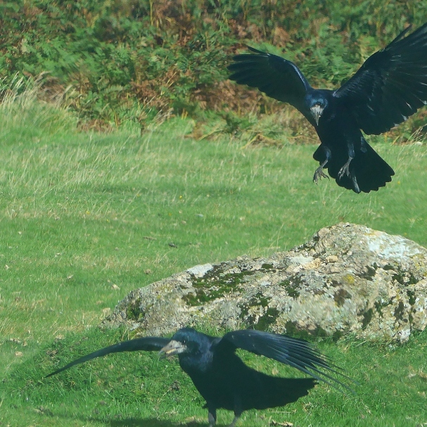 Rooks competing for scraps reference for art by Diane Young artist
