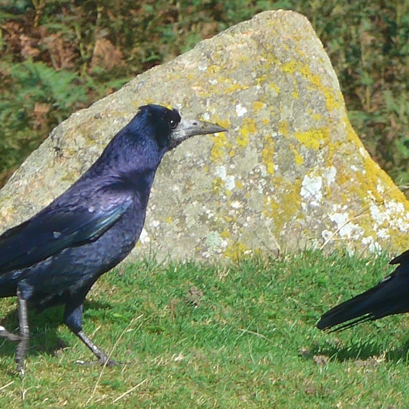 Rook Chasing another art reference by Diane Young