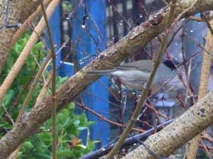 Photograph of a Blackcap by artist Diane Young