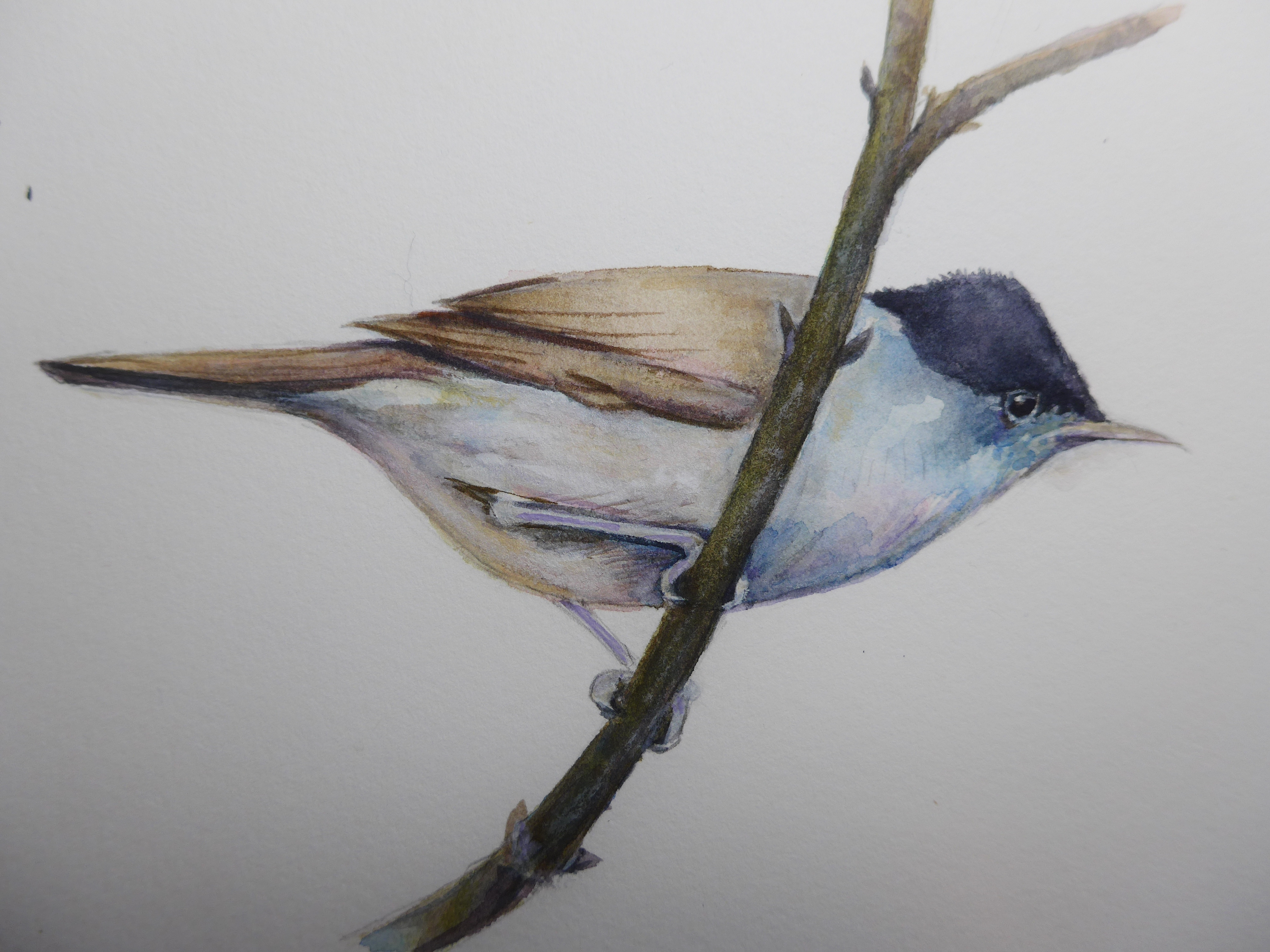 Painting of a Blackcap by artist Diane Young Manic Illustrations Stroud