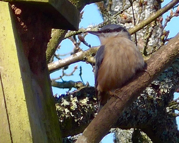 Photo of a Nuthatch sitting on a branch