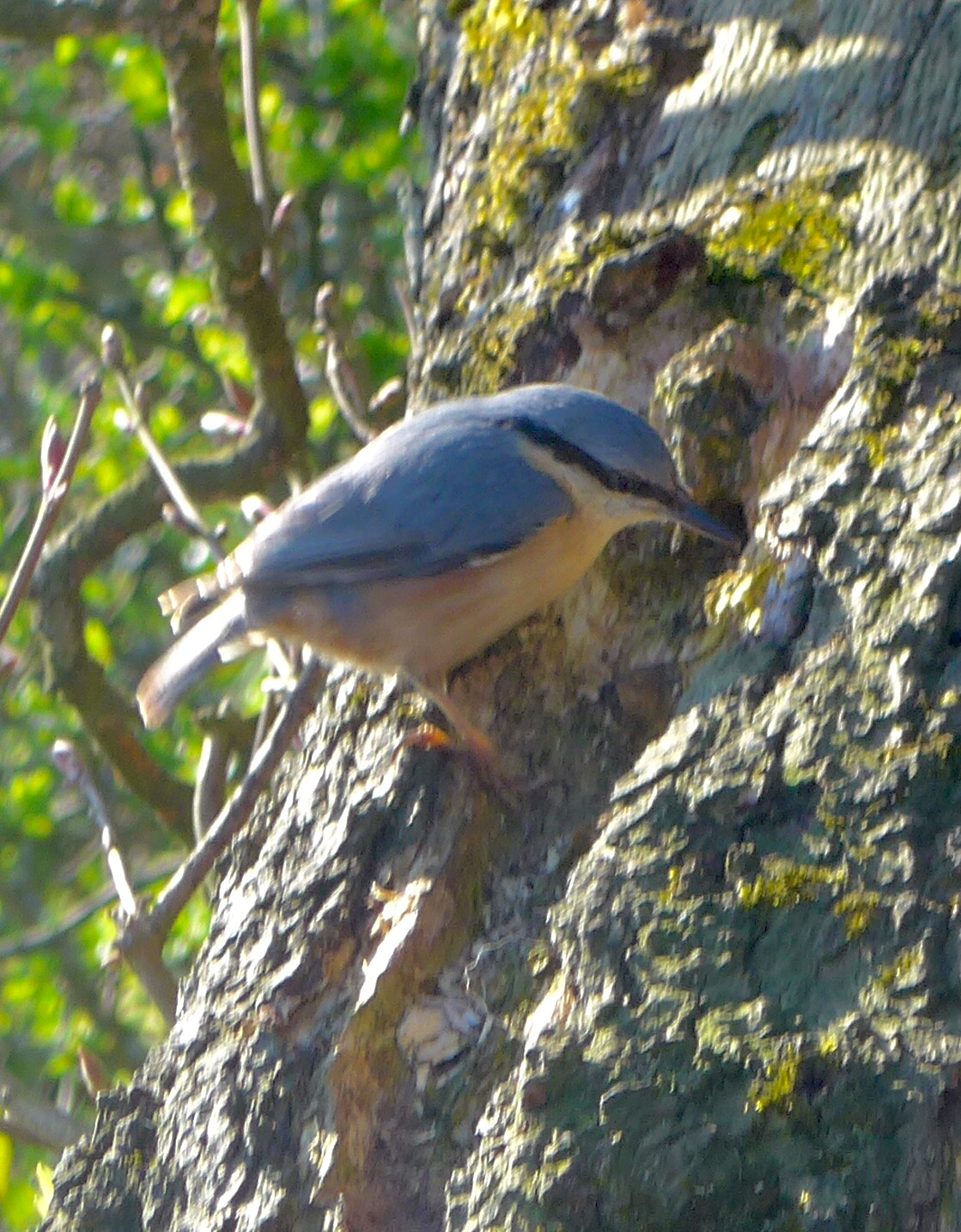 Nuthatch pecking at a tree trunk by Artist Diane Young