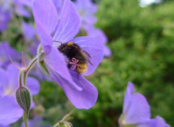 Photo of a bee on a geranium by artist Diane Young