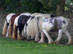 Photo of Gypsy Ponies keeping cool in the shade