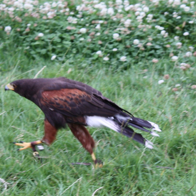 Harris Hawk on Ground photo by artist Diane Young