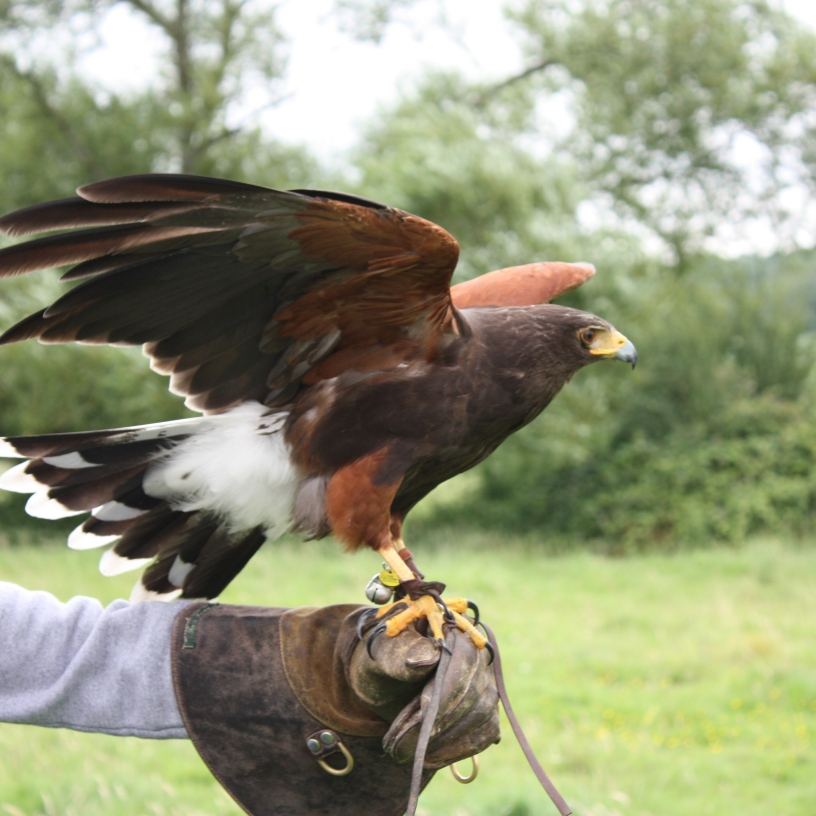 Photo of Harris Hawk by artist Diane Young
