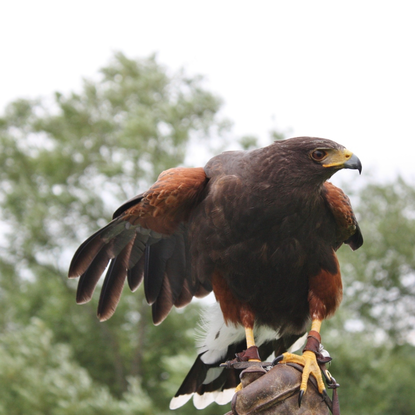 Harris's Hawk ready to fly photo by Diane Young