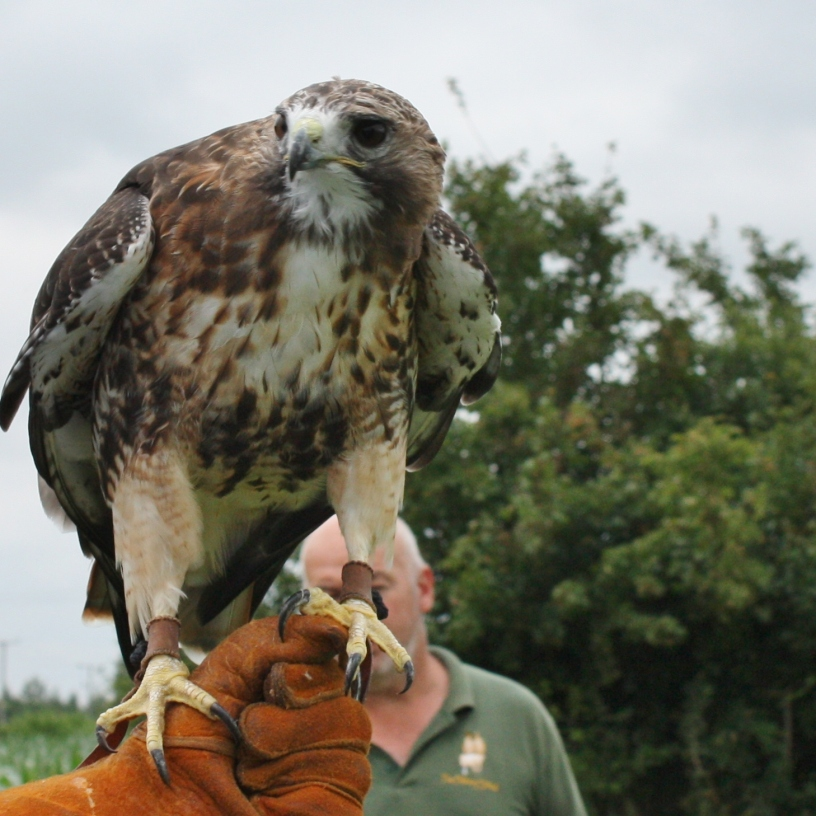 Red Tailed Buzzard Photo by Diane Young artist Stroud
