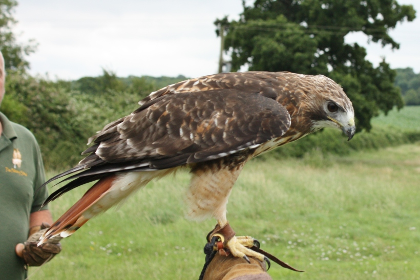 Photo of red tailed buzzard by artist Diane Young