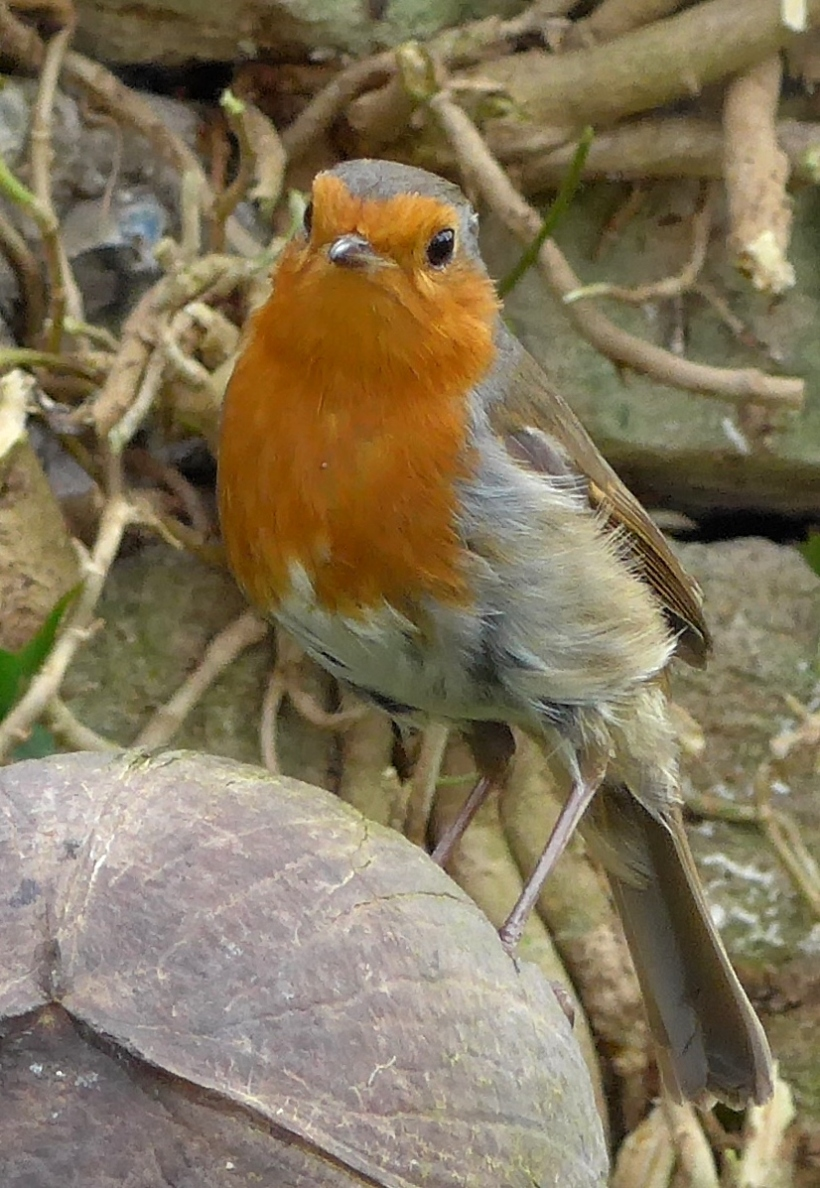 Robin on a coconut shell photo by artist Diane Young