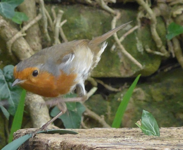 Gardeners Friend the Robin in Flight