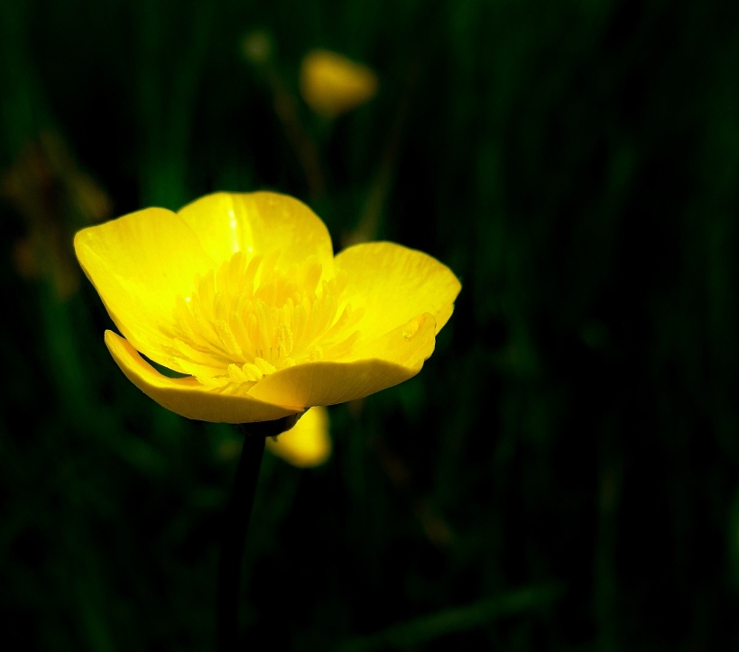 Buttercup photograph by artist Diane Young