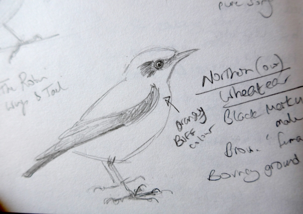 Sketch of Wheatear bird by artist Diane Young