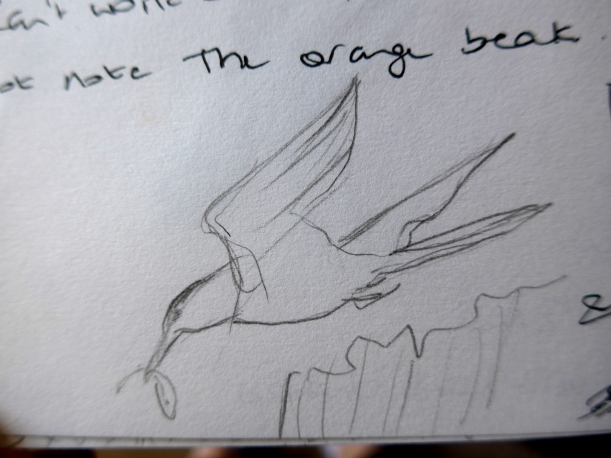 Sketch of Tern and fish by artist Diane Young