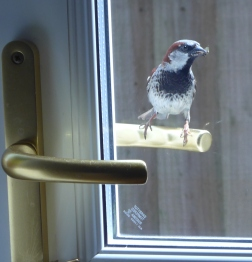 House Sparrow sitting on door handle presenting nesting material