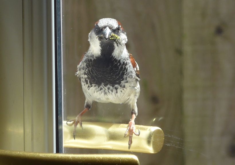 Photo of a house sparrow sitting on a door handle