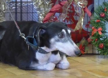 Elderly Greyhound