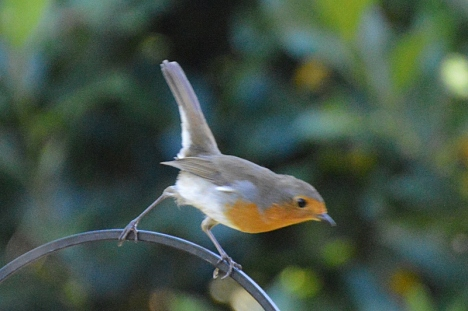 Photo of a perky robin for art reference by animal and bird artist Diane Young