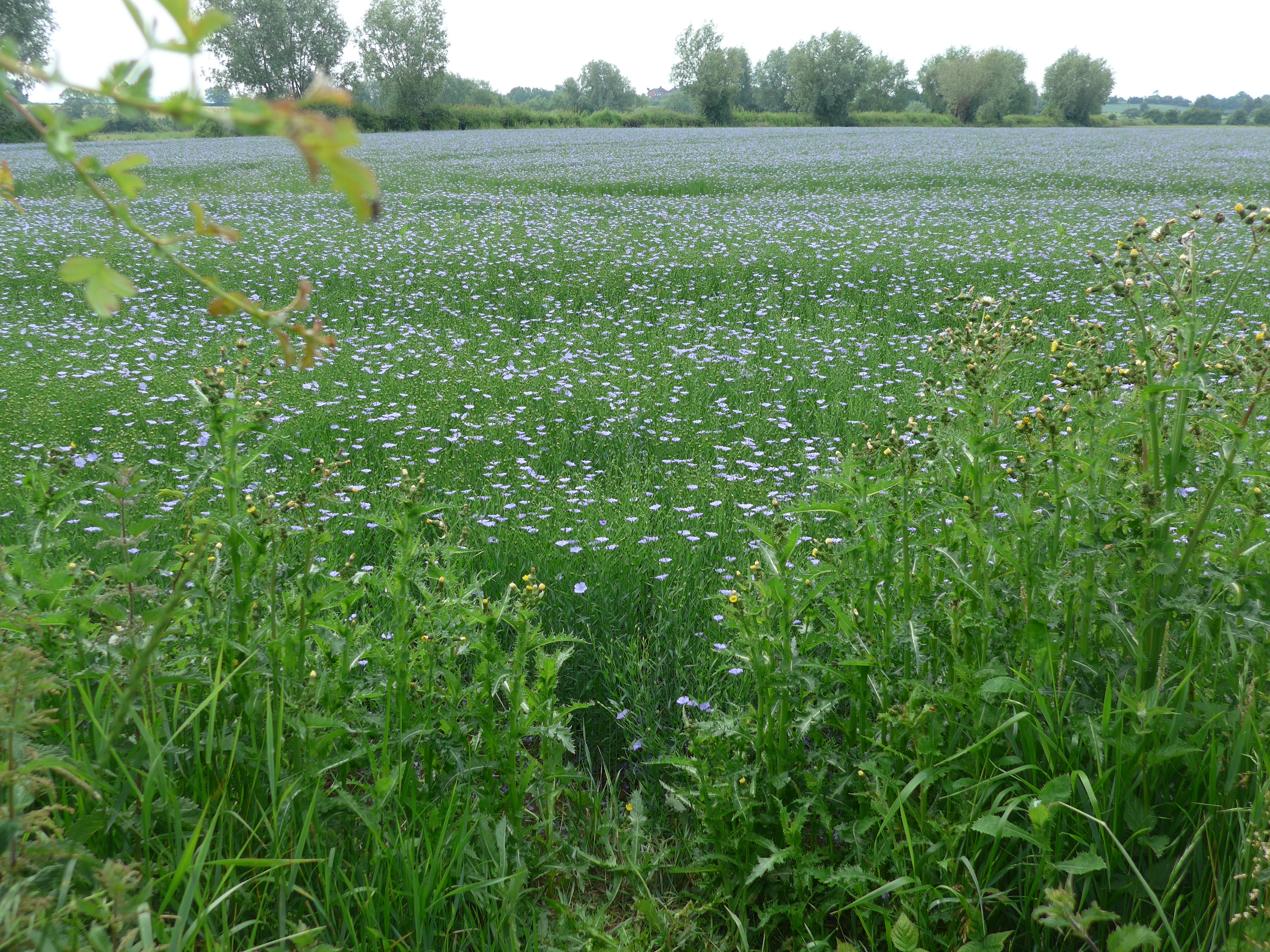 Field of blue flowers at Coombe Hill Glos