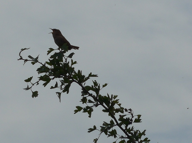 June 19 coombe hill wren (2)