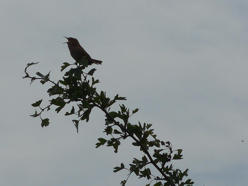 June 19 coombe hill wren (2)