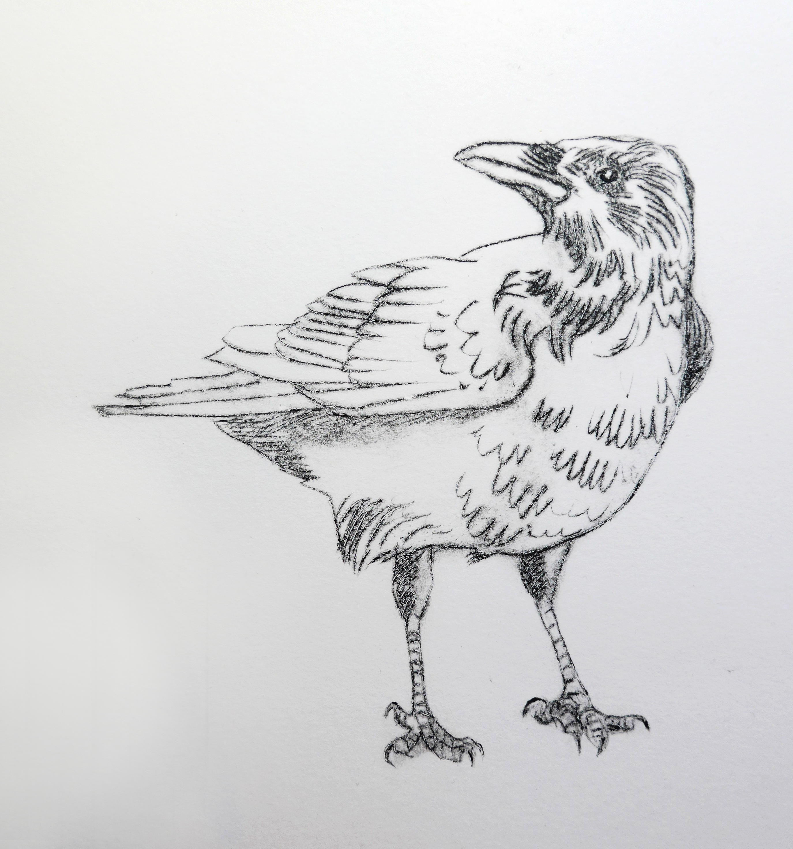 Image of a crow using intaglio by artist printmaker Diane Young