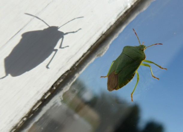 Photo of a shield bug by printmaker diane young of stroud