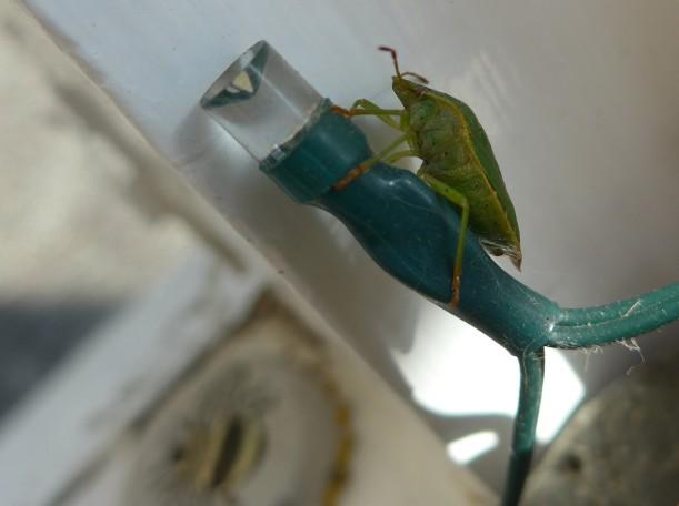 Shield bug on a fairy light